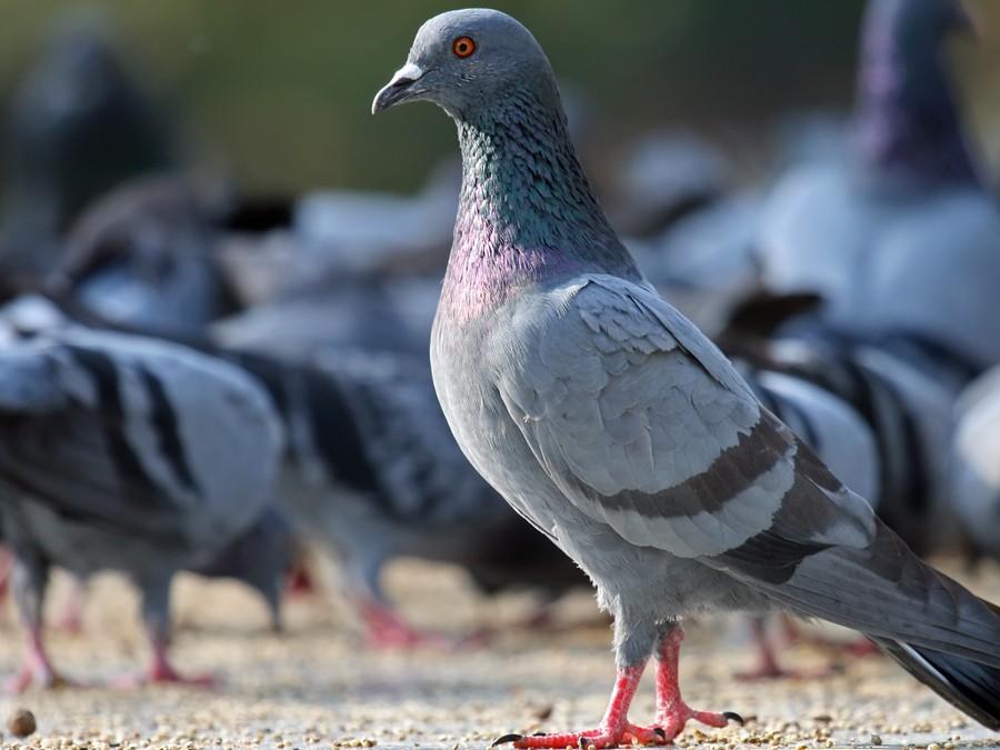 la-loi-sur-les-pigeons-34083